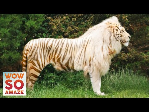 Top 5 Amazing Hybrid / Cross-Breed Animals