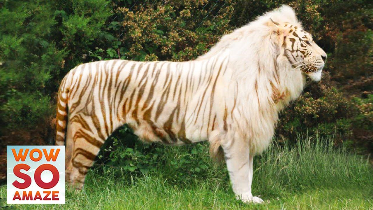 top 5 amazing hybrid crossbreed animals youtube