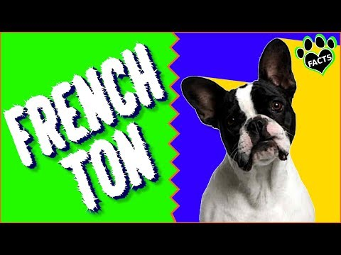 Frenchton Dogs 101 Boston Terrier French Bulldog Mix Designer