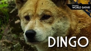 The Dingo: Australian Apex Predator