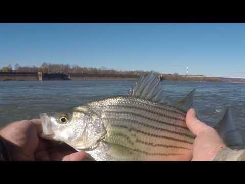 More Ohio River Hybid Bass Fishing