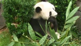 Panda at Ocean Park Hong Kong
