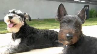 一起吹吹風吧 - Scottish Terrier And Schnauzer , Taiwanhappy.com