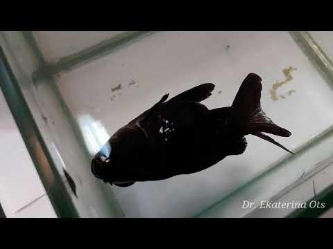 Болеет золотая рыбка. Телескоп. Самые опасные болезни. Рыбка заболела.