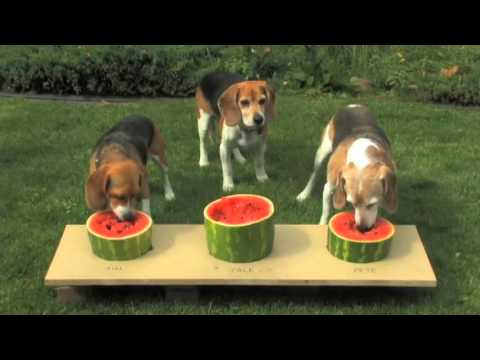 Dog watermelon eating contest very juicy youtube for Is it safe for dogs to eat watermelon