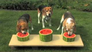 Dog Watermelon Eating Contest - Very Juicy!!!!