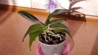 видео Орхидея. Реанимация орхидеи. Один из способов. orchid rehabilitation
