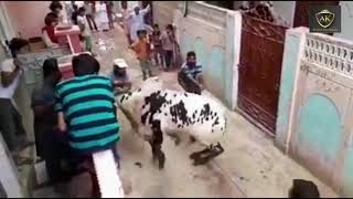 Top 15 Funny Angry Cow kick During Qurbani Angry Bull 2018 (Part 2)