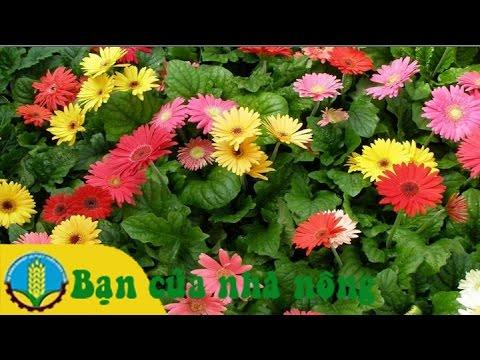 Mô hình, kỹ thuật trồng và chăm sóc hoa cúc đồng tiền cho ngày tết