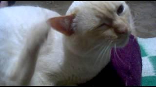 Кот ухо чешет