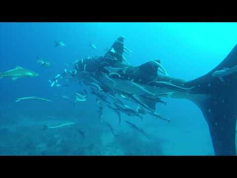 Whale Shark Sighting West Palm Beach 4/9/17