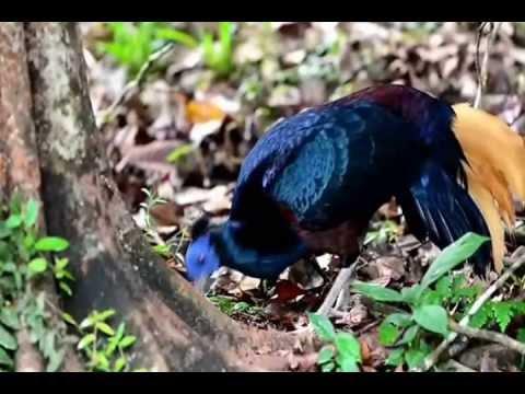 The Pheasants of Danum Valley, Borneo