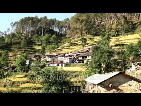 Terrace farming of wheat in Silgaun, Uttarakhand