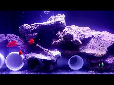 Reef A Palooza NY 2018 : Reefs.com / Captivebred Flame Angelfish
