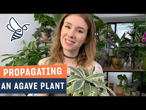 Propagating An Agave Plant