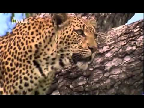 Documentary Films - The Life of LEOPARD QUEEN