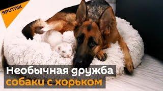 Совпали по темпераменту необычная дружба собаки с хорьком