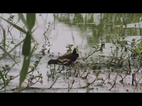 Ruddy-breasted Crake Porzana fusca phaeopyga
