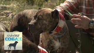 Испанский алано. Планета собак 🌏 Моя Планета(Сегодня мы в Испании и рассказ наш будет об испанских алано. Подпишись на
