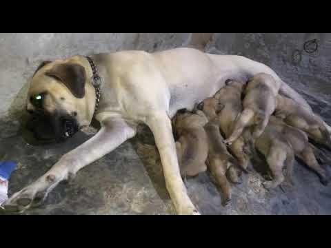 Bullmastiff male and female dog pups for sale in Delhi dwarka call 9212501257