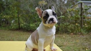 French Bulldog puppy for Sale, Male G5, French bulldog Puppies for Sale in Tampa FL
