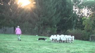 Video Grace + Sandy - Sheepherding Practice - 20150920 download MP3, 3GP, MP4, WEBM, AVI, FLV Juli 2018