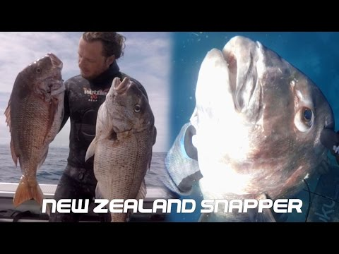 SPEARFISHING - Big Snapper In New Zealand