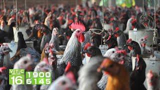 Bí quyết nuôi gà thu 200 triệu/năm mặc giá gà giảm sâu   VTC16
