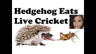 HEDGEHOG EATS LIVE CRICKETS
