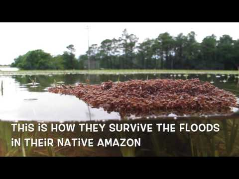 Ants weave waterproof fabric to survive floods by creating living life rafts