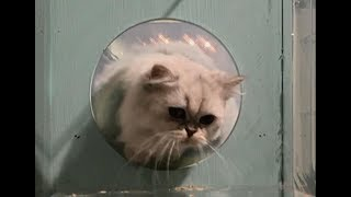 Experiment: how flexible a cat is   CCTV English