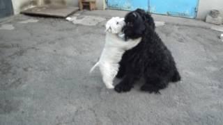Мои собаки. Вест хайленд вайт терьер Лаки и русский черный терьер Мерлин  2013