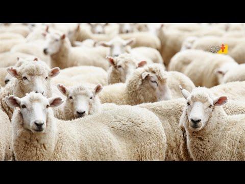 Curso a Distância Criação de Ovinos de Corte do CPT