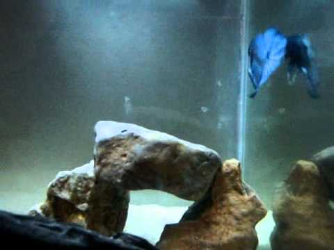 Angry Fish (Blue Butterfly HMPK)
