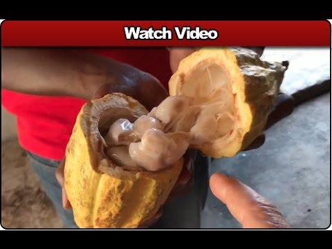 The American Innovator - Grenada - Cocoa Bean Plantation