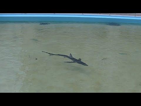 世界で最も美しいサメ「ヨシキリザメ」が泳ぐむろと廃校水族館