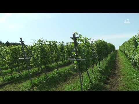 下北ワイン(夏) - ブドウ畑 - 0117A