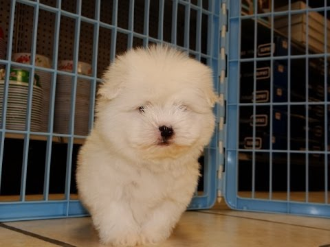 coton puppies for sale in memphis tennessee tn 19breeders clarksville chattanooga youtube. Black Bedroom Furniture Sets. Home Design Ideas