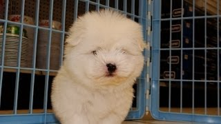 Coton, Puppies For Sale, In, Memphis, Tennessee, Tn, 19breeders, Clarksville, Chattanooga