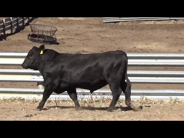 Connealy Angus Lot 177