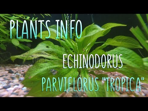 "Plants Info | Эхинодорус Тропика (Echinodorus parviflorus ""tropica"")"