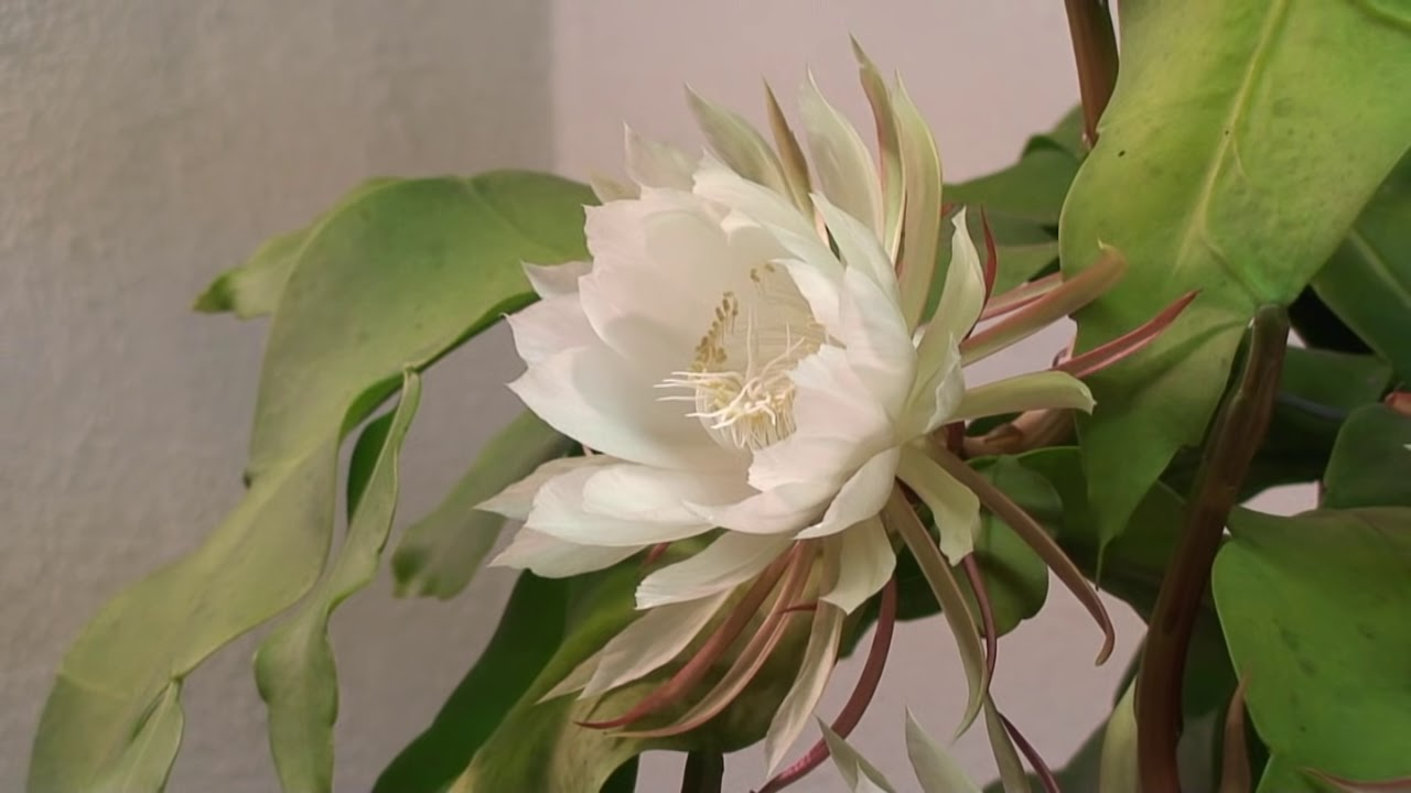 Queen of the Night (Epiphyllum Oxypetalum) 2010 - YouTube