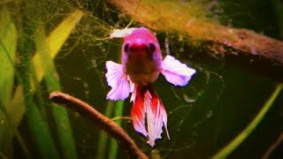 Dumbo Ear Betta Fish Tank (Elephant Ear)