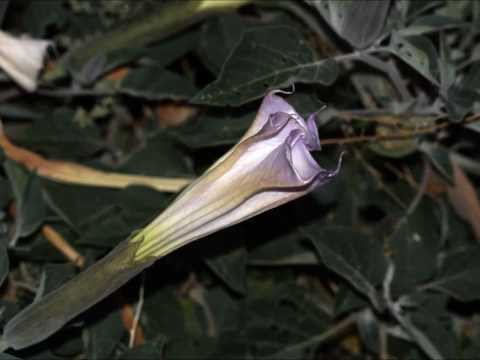 Night of the Moonflowers