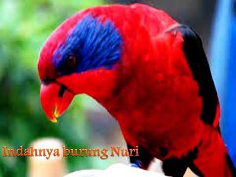Merdunya Kicauan Burung Nuri Kepala Merah Bermata Biru Youtube