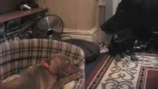 April Vizsla Puppy Part 16