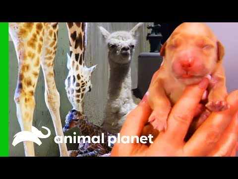 5 Of The Most Incredible Animal Births (Compilation)