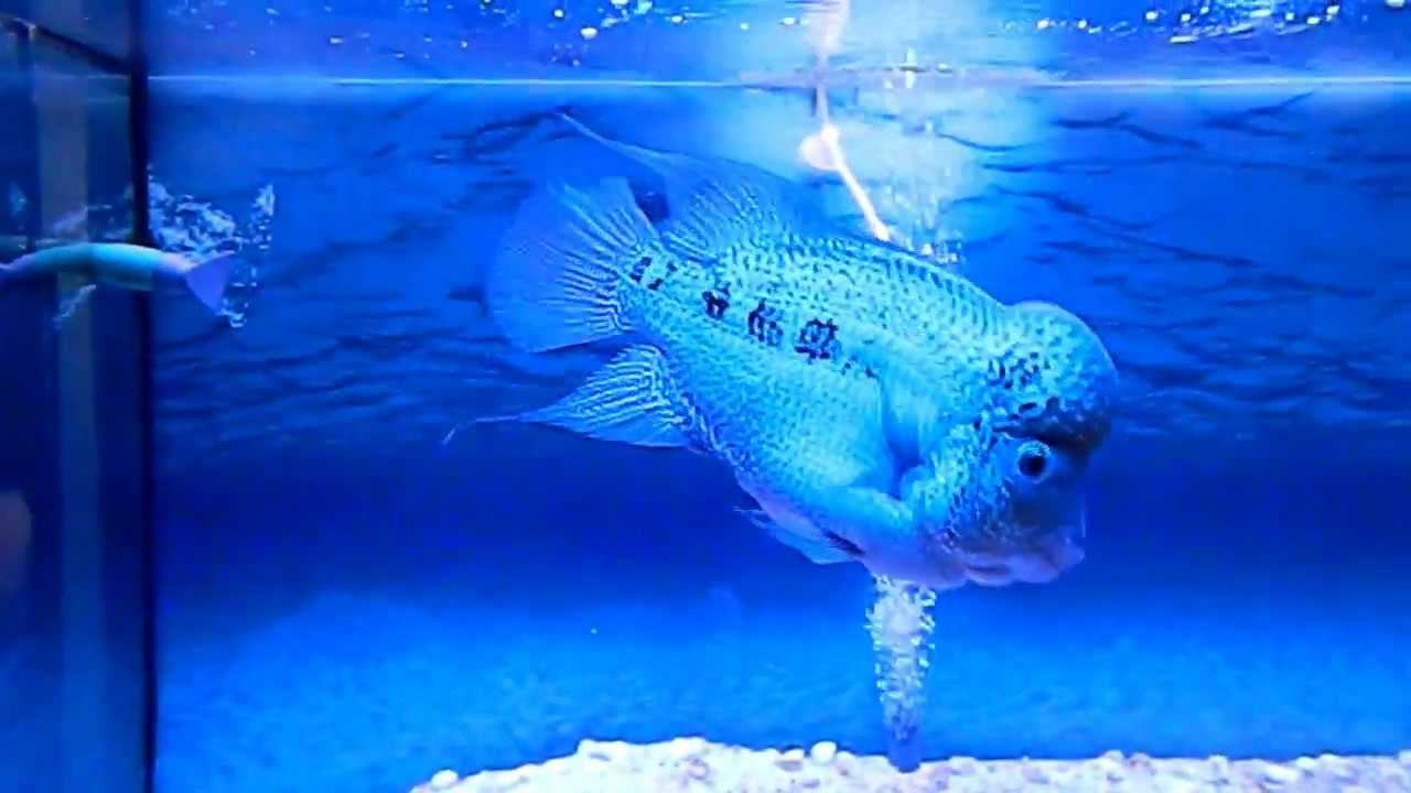how to make the pearl on flowerhorn more clear