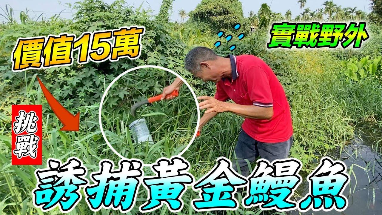 挑戰誘捕黃金鰻魚,價值15萬『實戰野外系列』Hunting wild eels, asking price of 150,000 Taiwan dollars