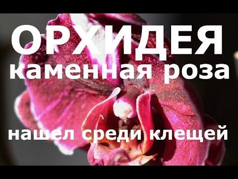 орхидея КАМЕННАЯ РОЗА уцененка за 199 рублей, пересадка